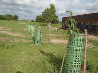Mangobomen in Mokin